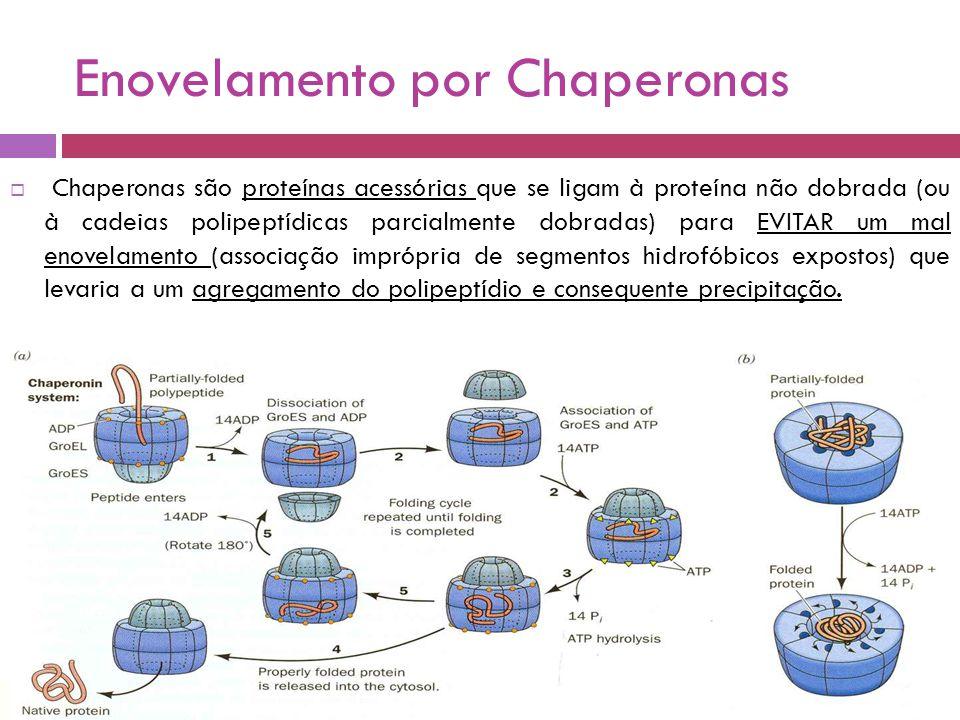 Enovelamento por Chaperonas  Chaperonas são proteínas acessórias que se ligam à proteína não dobrada (ou à cadeias polipeptídicas parcialmente dobradas) para EVITAR um mal enovelamento (associação imprópria de segmentos hidrofóbicos expostos) que levaria a um agregamento do polipeptídio e consequente precipitação.