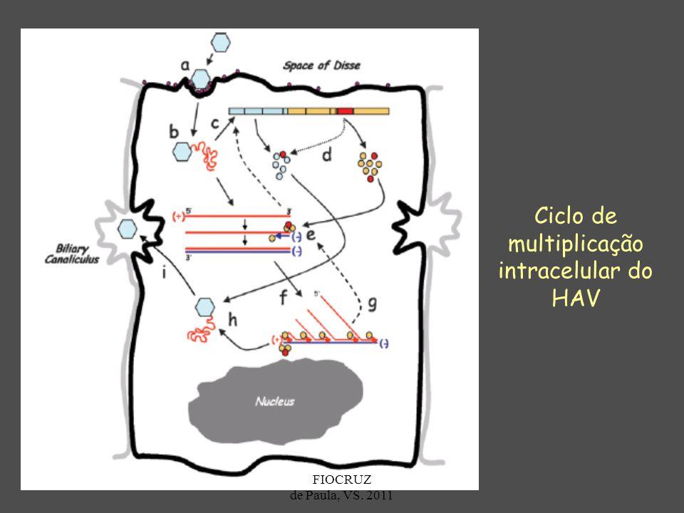 Ciclo de multiplicação intracelular do HAV FIOCRUZ de Paula, VS. 2011