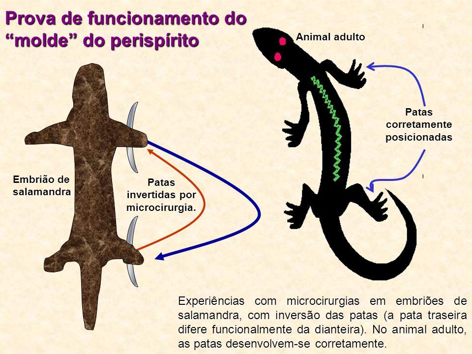 """Patas corretamente posicionadas Animal adulto Prova de funcionamento do """"molde"""" do perispírito Experiências com microcirurgias em embriões de salamand"""