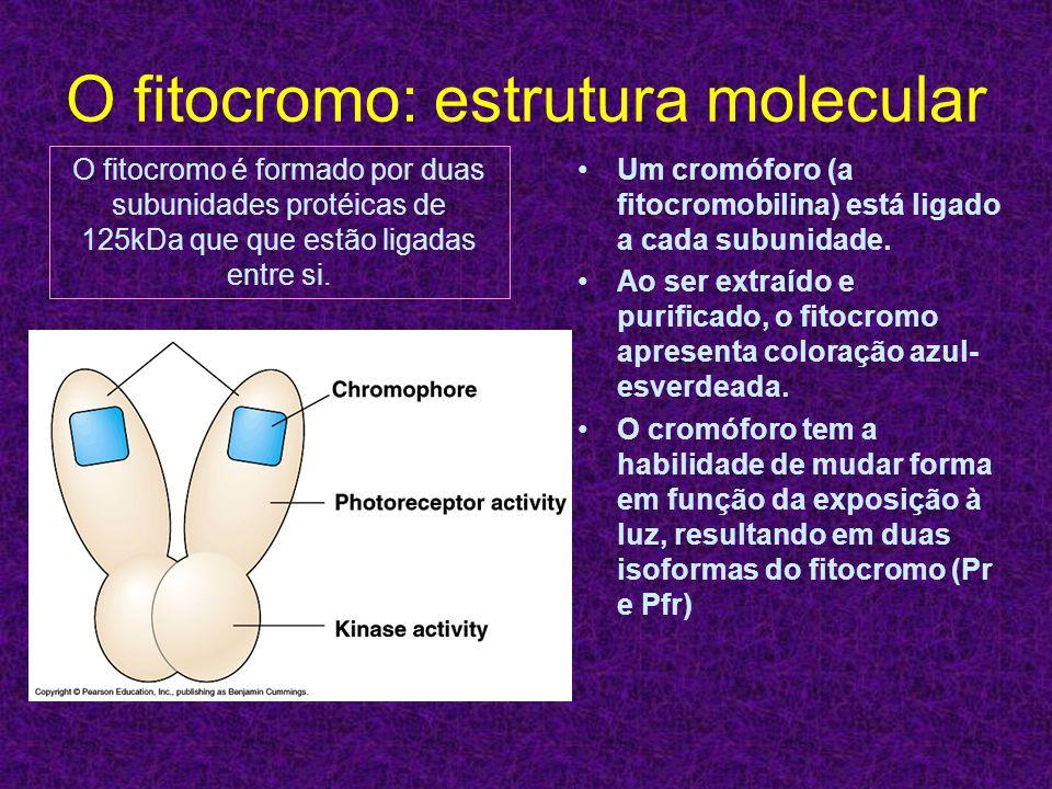 O fitocromo: estrutura molecular Um cromóforo (a fitocromobilina) está ligado a cada subunidade. Ao ser extraído e purificado, o fitocromo apresenta c