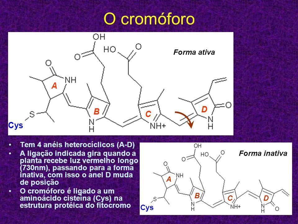 O cromóforo Tem 4 anéis heterocíclicos (A-D) A ligação indicada gira quando a planta recebe luz vermelho longo (730nm), passando para a forma inativa,