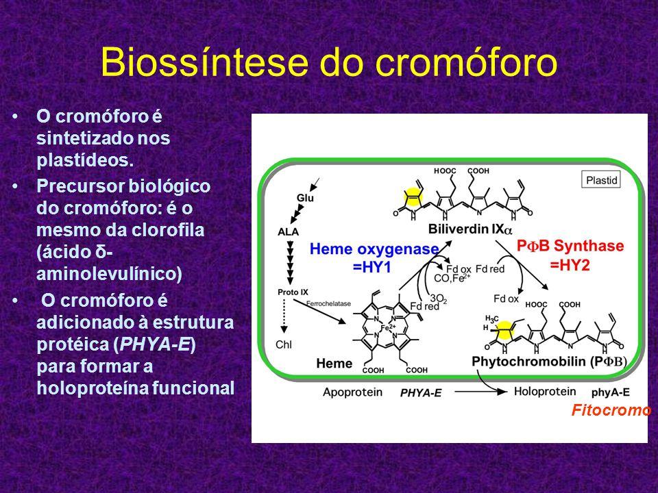 Biossíntese do cromóforo O cromóforo é sintetizado nos plastídeos. Precursor biológico do cromóforo: é o mesmo da clorofila (ácido δ- aminolevulínico)