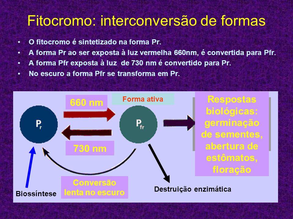 Fitocromo: interconversão de formas O fitocromo é sintetizado na forma Pr. A forma Pr ao ser exposta à luz vermelha 660nm, é convertida para Pfr. A fo