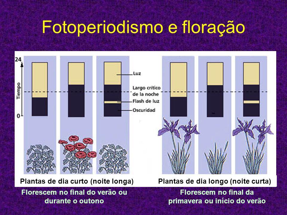 Fotoperiodismo e floração Plantas de dia curto (noite longa)Plantas de dia longo (noite curta) Florescem no final da primavera ou início do verão Flor