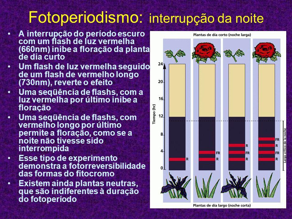 Fotoperiodismo: interrupção da noite A interrupção do período escuro com um flash de luz vermelha (660nm) inibe a floração da planta de dia curto Um f
