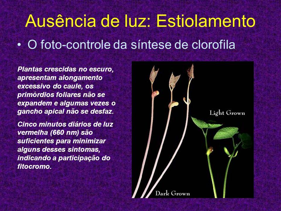 Ausência de luz: Estiolamento O foto-controle da síntese de clorofila Plantas crescidas no escuro, apresentam alongamento excessivo do caule, os primó