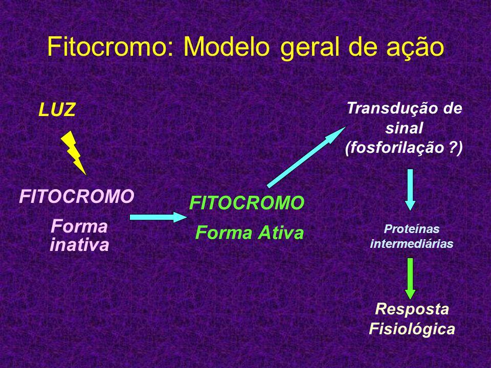 Fitocromo: Modelo geral de ação LUZ FITOCROMO Forma inativa FITOCROMO Forma Ativa Transdução de sinal (fosforilação ?) Proteínas intermediárias Respos