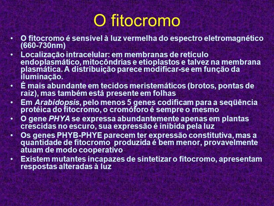 O fitocromo O fitocromo é sensível à luz vermelha do espectro eletromagnético (660-730nm) Localização intracelular: em membranas de retículo endoplasm
