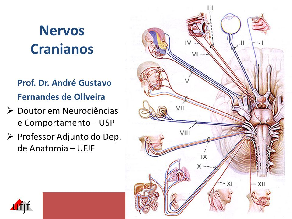 Nervos Cranianos Prof. Dr. André Gustavo Fernandes de Oliveira  Doutor em Neurociências e Comportamento – USP  Professor Adjunto do Dep. de Anatomia