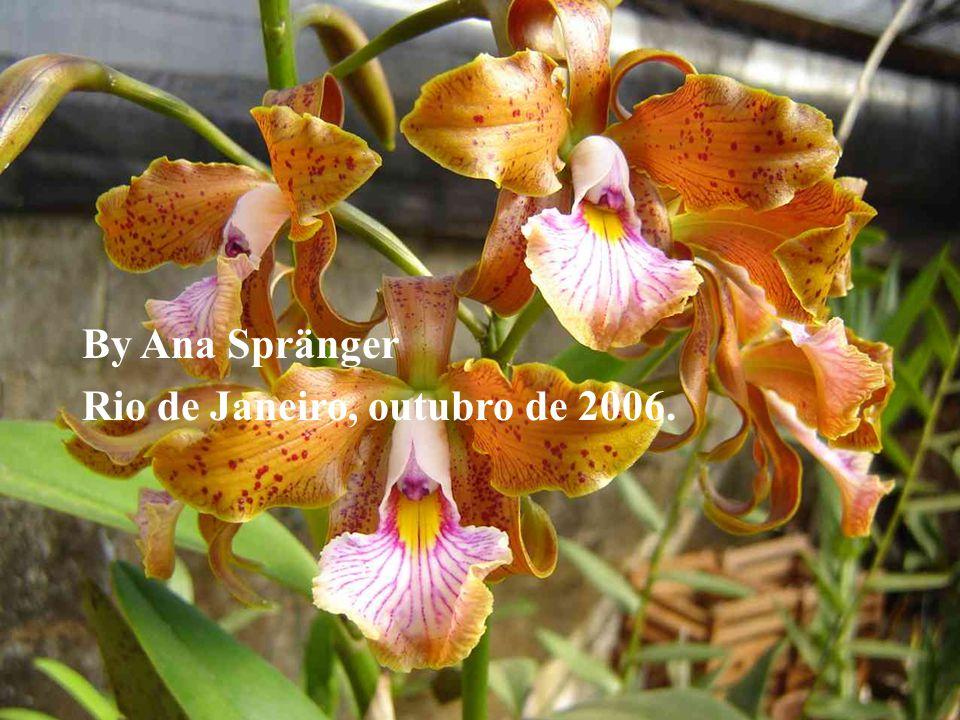 Algumas orquídeas fotografadas por José Gervásio Viçosi nos orquidários Caliman, Falqueto e Viçosi, em Venda Nova do Imigrante, Espírito Santo, Brasil Outras sob pesquisa Internet.