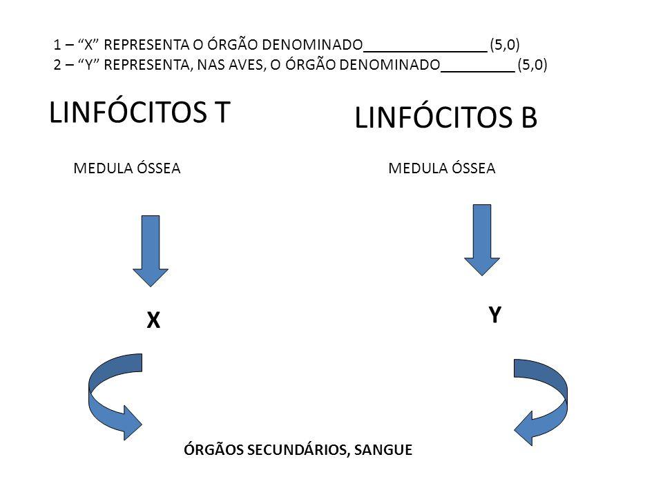 """MEDULA ÓSSEA LINFÓCITOS T X ÓRGÃOS SECUNDÁRIOS, SANGUE LINFÓCITOS B Y 1 – """"X"""" REPRESENTA O ÓRGÃO DENOMINADO_______________ (5,0) 2 – """"Y"""" REPRESENTA, N"""