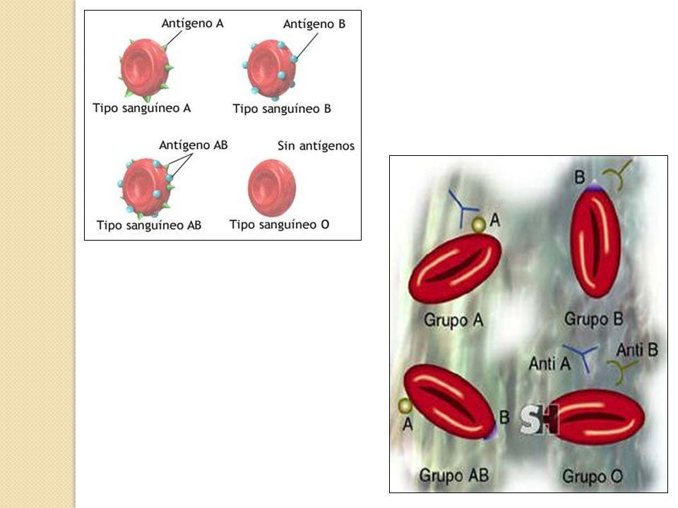 Tipagem sanguínea quanto ao sistema ABO Utilização de anticorpos Anti-A e Anti-B; Reações do tipo aglutinina (anticorpo) – aglutinogênio (antígeno), em um processo denominado de AGLUTINAÇÃO, servem como parâmetro para a identificação dos tipos sanguíneos.