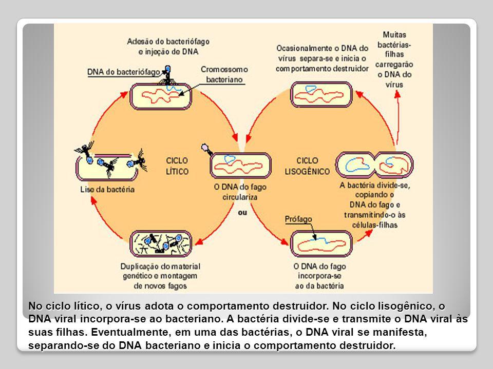 No ciclo lítico, o vírus adota o comportamento destruidor. No ciclo lisogênico, o DNA viral incorpora-se ao bacteriano. A bactéria divide-se e transmi