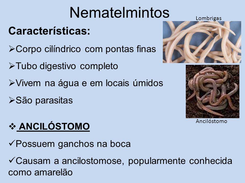 Nematelmintos Características:  Corpo cilíndrico com pontas finas  Tubo digestivo completo  Vivem na água e em locais úmidos  São parasitas Anciló