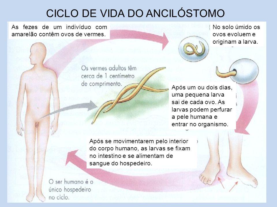 CICLO DE VIDA DO ANCILÓSTOMO As fezes de um indivíduo com amarelão contêm ovos de vermes. No solo úmido os ovos evoluem e originam a larva. Após um ou