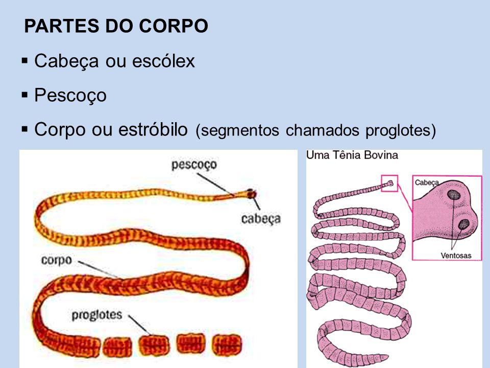 PARTES DO CORPO  Cabeça ou escólex  Pescoço  Corpo ou estróbilo (segmentos chamados proglotes)
