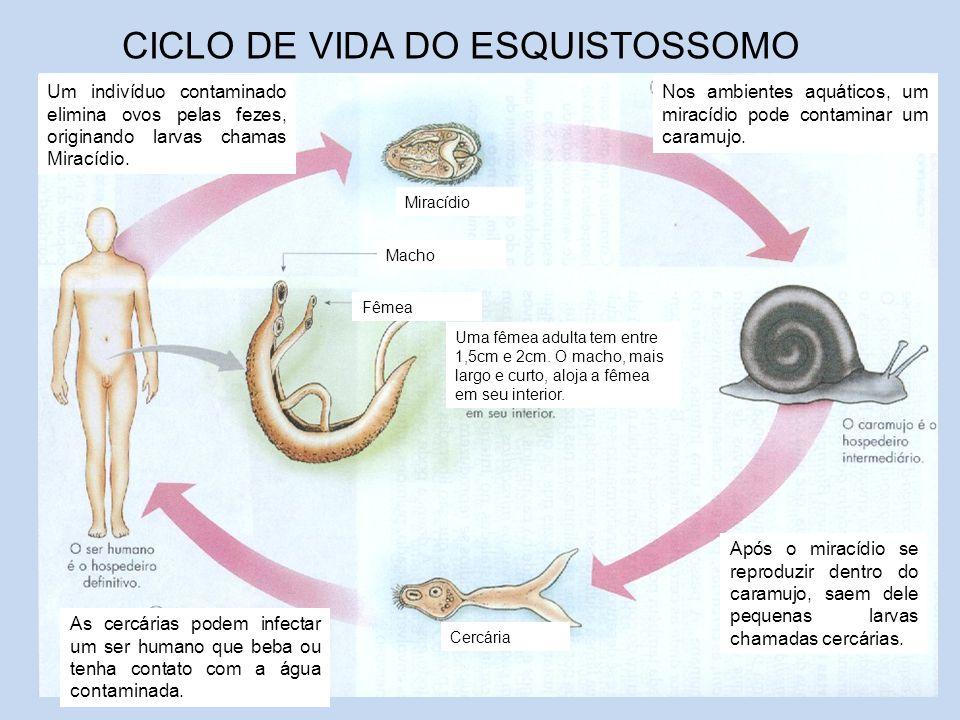 CICLO DE VIDA DO ESQUISTOSSOMO Um indivíduo contaminado elimina ovos pelas fezes, originando larvas chamas Miracídio. Miracídio Nos ambientes aquático