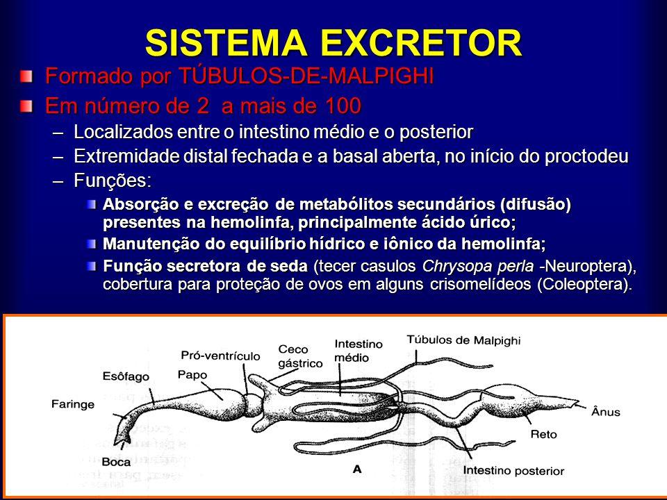 SISTEMA EXCRETOR Formado por TÚBULOS-DE-MALPIGHI Em número de 2 a mais de 100 –Localizados entre o intestino médio e o posterior –Extremidade distal f