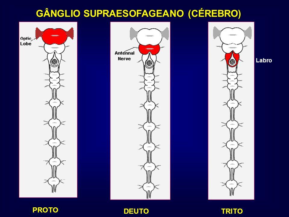 GÂNGLIO SUPRAESOFAGEANO (CÉREBRO) PROTO DEUTOTRITO Labro