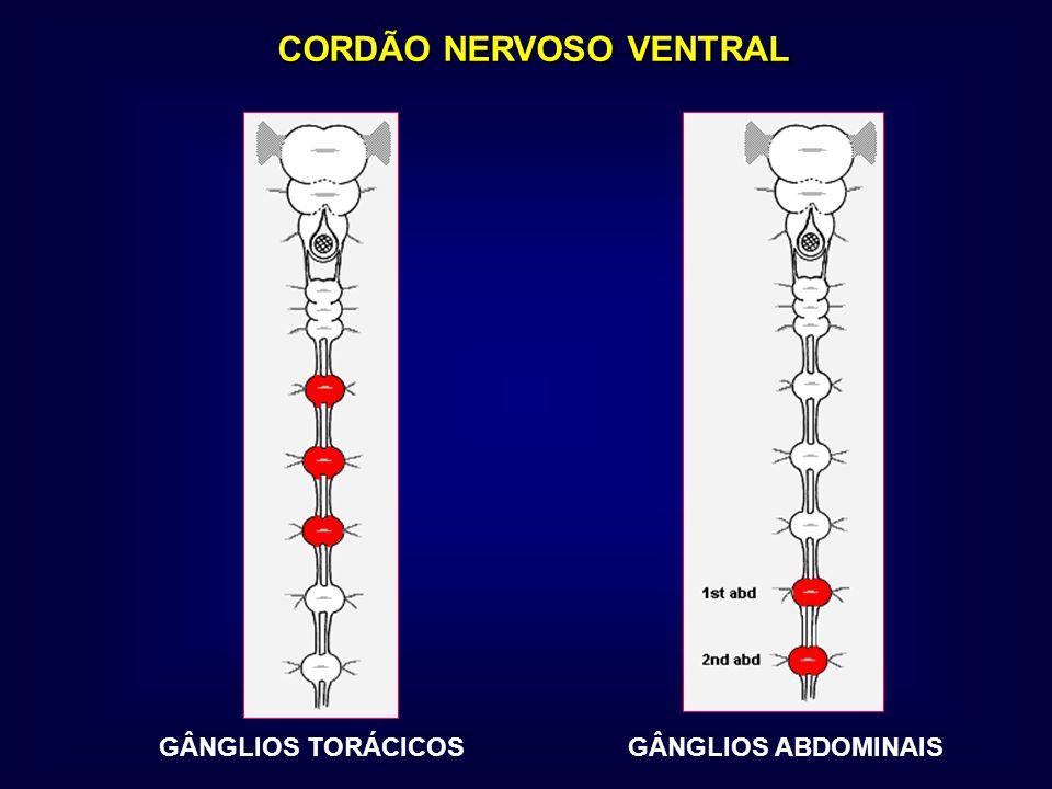 CORDÃO NERVOSO VENTRAL GÂNGLIOS TORÁCICOSGÂNGLIOS ABDOMINAIS