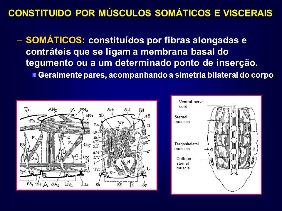 CONSTITUIDO POR MÚSCULOS SOMÁTICOS E VISCERAIS CONSTITUIDO POR MÚSCULOS SOMÁTICOS E VISCERAIS –SOMÁTICOS: constituídos por fibras alongadas e contráte