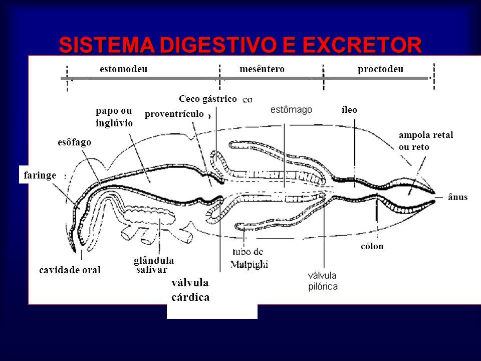 SISTEMA DIGESTIVO E EXCRETOR válvula cárdica cavidade oral faringe esôfago papo ou inglúvio proventrículo Ceco gástrico íleo ampola retal ou reto ânus