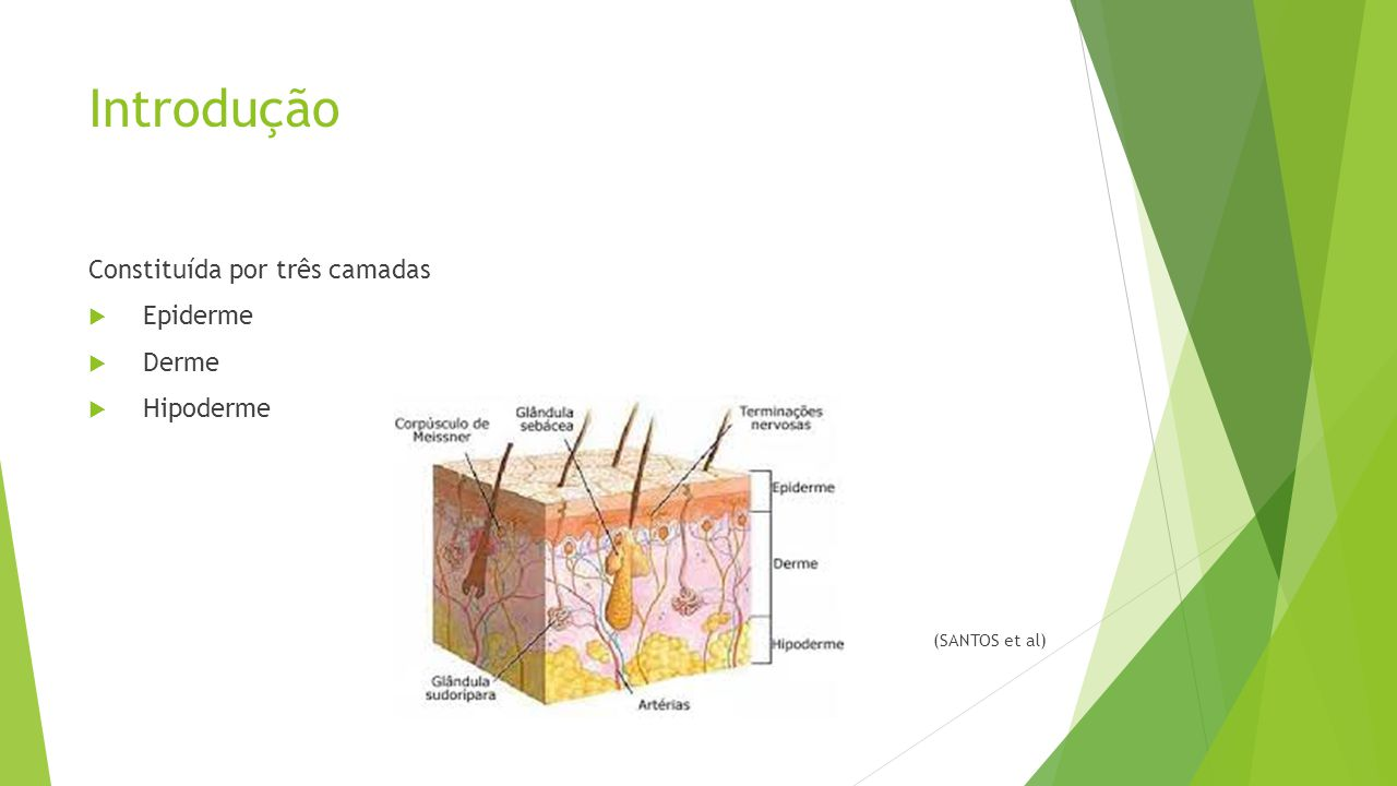 Introdução Constituída por três camadas  Epiderme  Derme  Hipoderme (SANTOS et al)