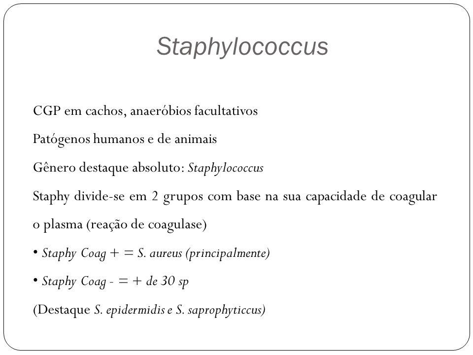 Morfologia Células esféricas que se dispõem em cachos irregulares, cocos isolados, aos pares, em tétrades.