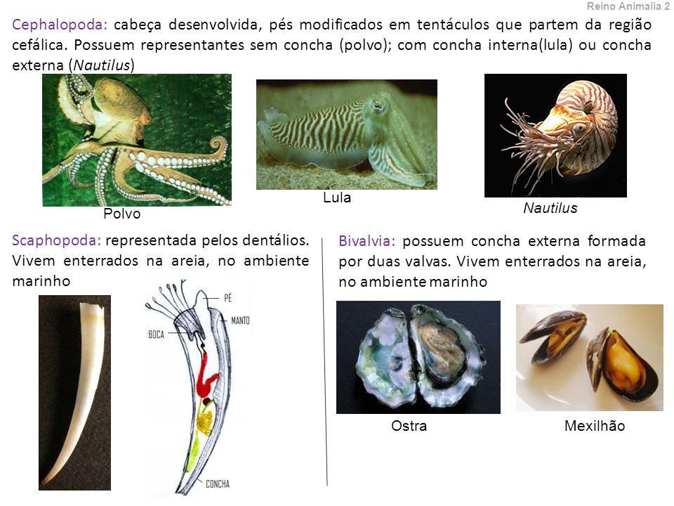 Cephalopoda: cabeça desenvolvida, pés modificados em tentáculos que partem da região cefálica.