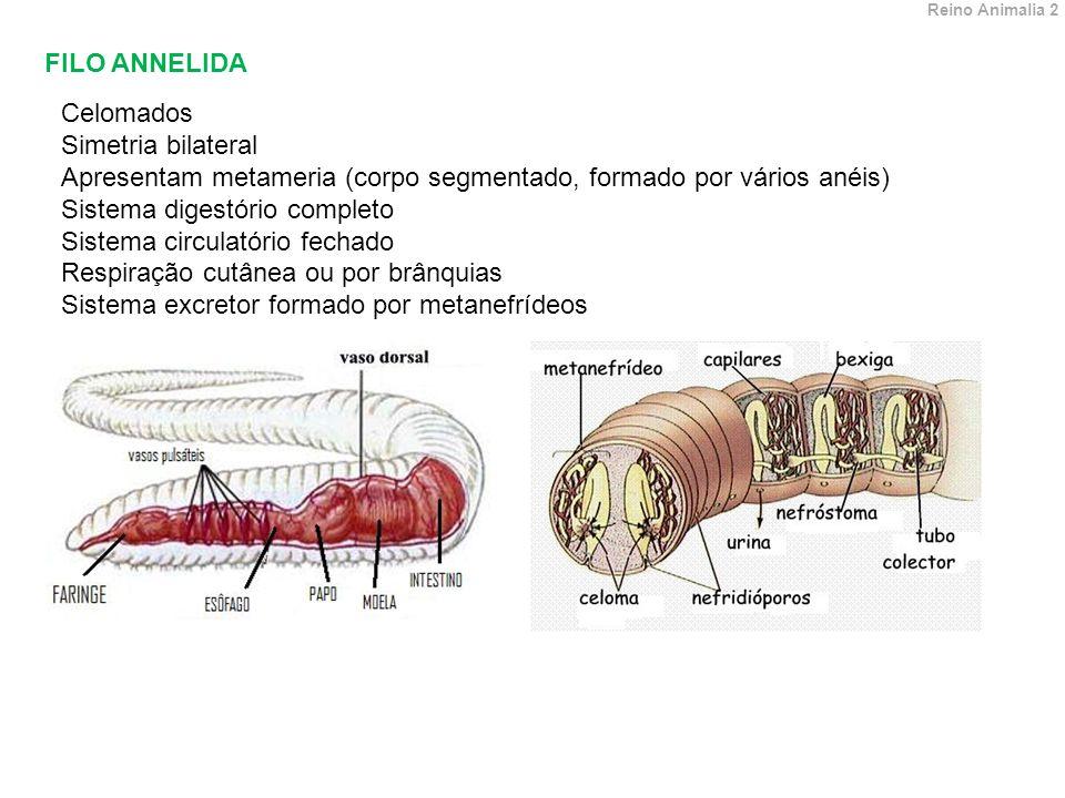 FILO ANNELIDA Celomados Simetria bilateral Apresentam metameria (corpo segmentado, formado por vários anéis) Sistema digestório completo Sistema circulatório fechado Respiração cutânea ou por brânquias Sistema excretor formado por metanefrídeos Reino Animalia 2