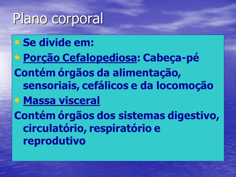 Plano corporal Se divide em: Porção Cefalopediosa: Cabeça-pé Contém órgãos da alimentação, sensoriais, cefálicos e da locomoção Massa visceral Contém