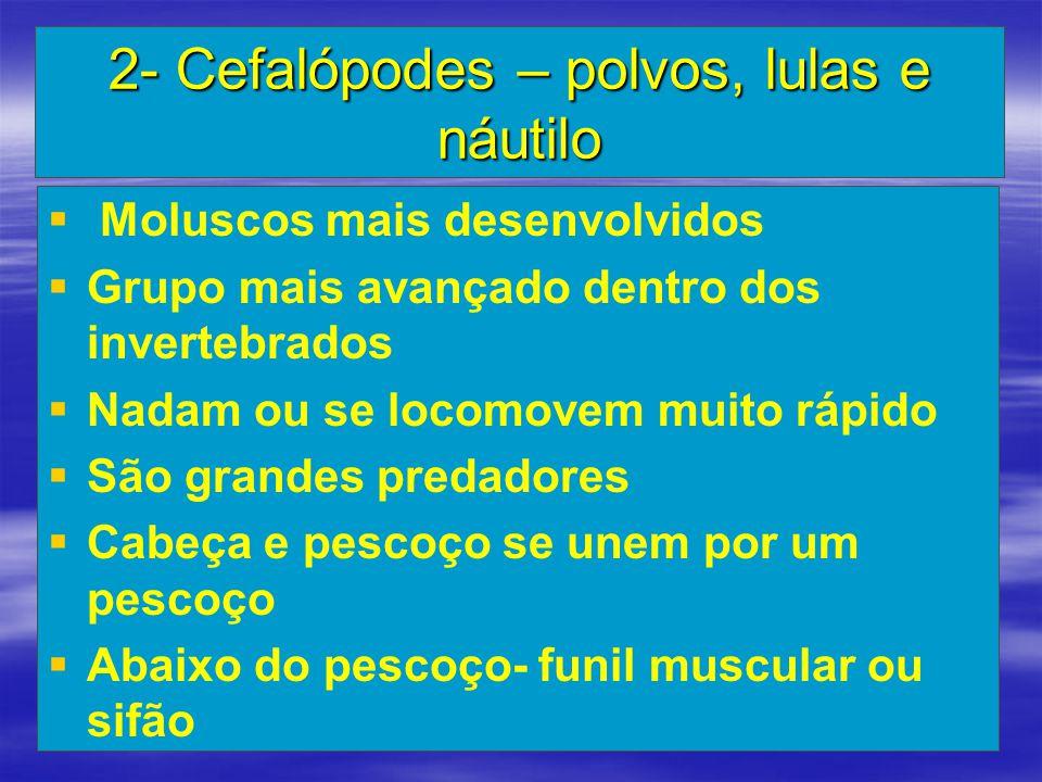 2- Cefalópodes – polvos, lulas e náutilo   Moluscos mais desenvolvidos   Grupo mais avançado dentro dos invertebrados   Nadam ou se locomovem mu