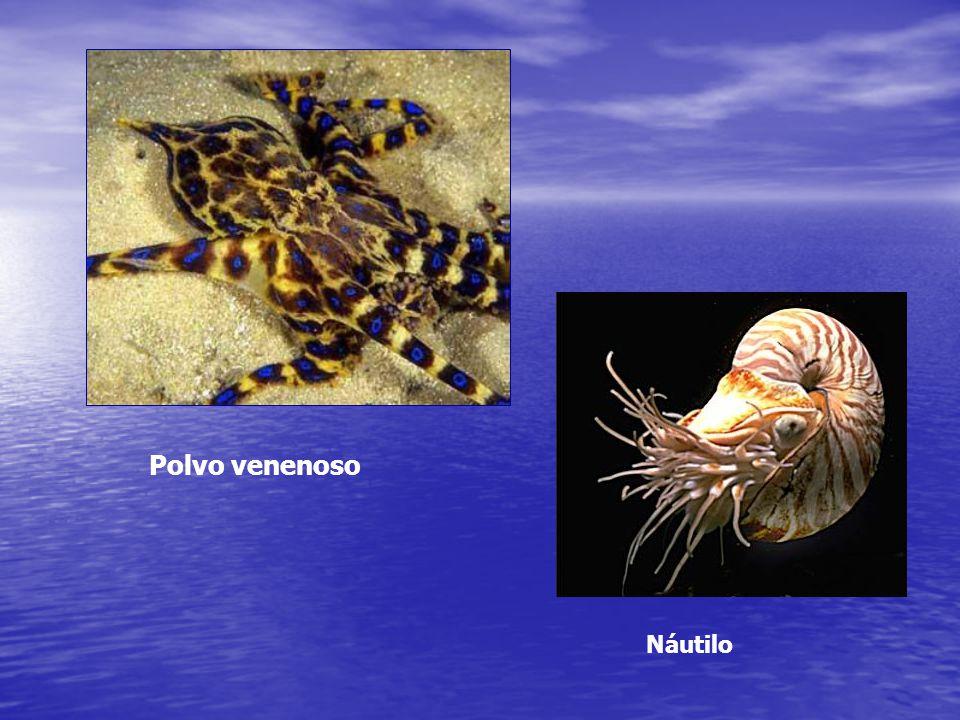 Características Gerais Mollusca= corpo mole Microscópicos a lula gigante Herbívoros, carnívoros, detritívoros e parasitas Exoesqueleto externo (concha) ou interno (lulas – endoconcha) Maioria marinha / bivalves e gastrópodes hábitats de água doce e terrestre (distribuição limitada)