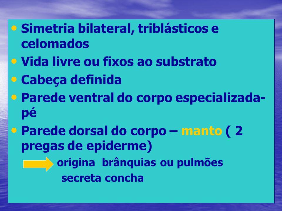 Simetria bilateral, triblásticos e celomados Vida livre ou fixos ao substrato Cabeça definida Parede ventral do corpo especializada- pé Parede dorsal