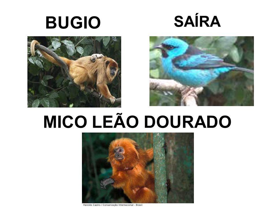 BUGIO MICO LEÃO DOURADO SAÍRA