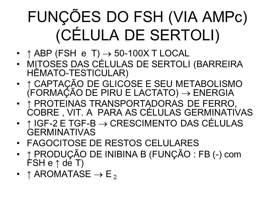 FUNÇÕES DO FSH (VIA AMPc) (CÉLULA DE SERTOLI) ↑ ABP (FSH e T)  50-100X T LOCAL MITOSES DAS CÉLULAS DE SERTOLI (BARREIRA HÊMATO-TESTICULAR) ↑ CAPTAÇÃO