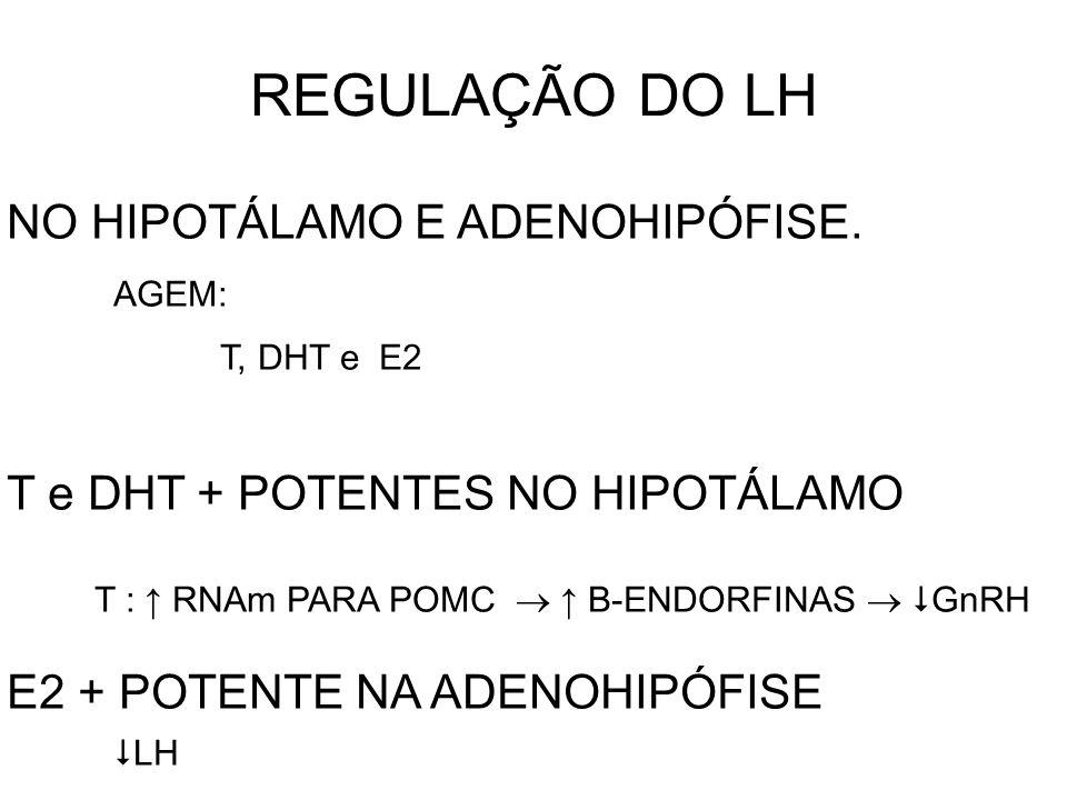 REGULAÇÃO DO LH NO HIPOTÁLAMO E ADENOHIPÓFISE. AGEM: T, DHT e E2 T e DHT + POTENTES NO HIPOTÁLAMO T : ↑ RNAm PARA POMC  ↑ B-ENDORFINAS   GnRH E2 +