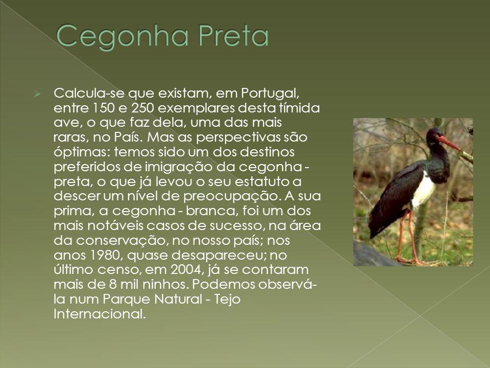  Calcula-se que existam, em Portugal, entre 150 e 250 exemplares desta tímida ave, o que faz dela, uma das mais raras, no País. Mas as perspectivas s