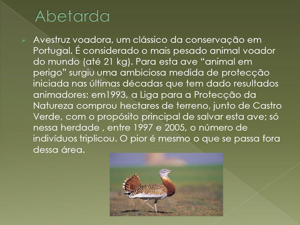 """ Avestruz voadora, um clássico da conservação em Portugal. É considerado o mais pesado animal voador do mundo (até 21 kg). Para esta ave """"animal em p"""