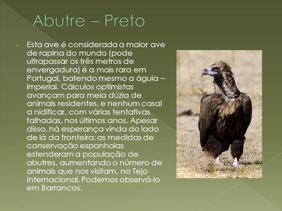  Esta ave é considerada a maior ave de rapina do mundo (pode ultrapassar os três metros de envergadura) é a mais rara em Portugal, batendo mesmo a ág