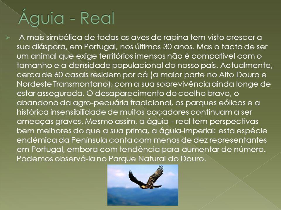  A mais simbólica de todas as aves de rapina tem visto crescer a sua diáspora, em Portugal, nos últimos 30 anos. Mas o facto de ser um animal que exi