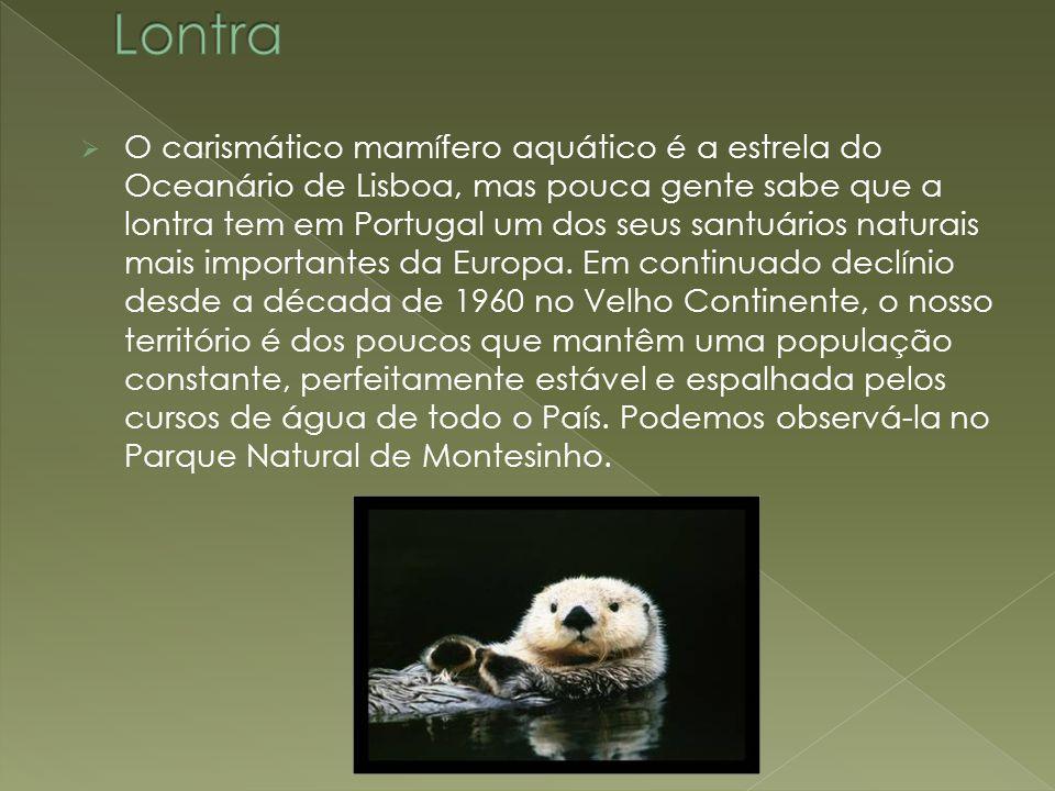  O carismático mamífero aquático é a estrela do Oceanário de Lisboa, mas pouca gente sabe que a lontra tem em Portugal um dos seus santuários naturai