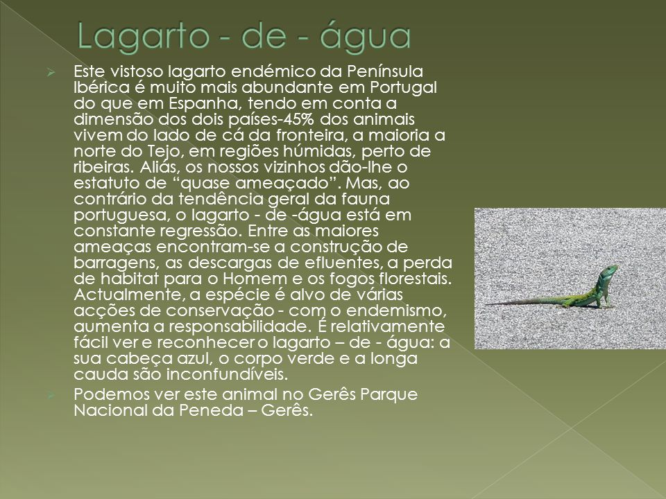  Este vistoso lagarto endémico da Península Ibérica é muito mais abundante em Portugal do que em Espanha, tendo em conta a dimensão dos dois países-45% dos animais vivem do lado de cá da fronteira, a maioria a norte do Tejo, em regiões húmidas, perto de ribeiras.