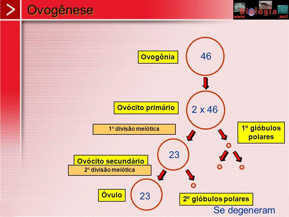 Ovogênese 46 Ovogônia Ovócito secundário 1º glóbulos polares 23 Óvulo 2º glóbulos polares Ovócito primário 2 x 46 23 Se degeneram 1º divisão meiótica 2º divisão meiótica