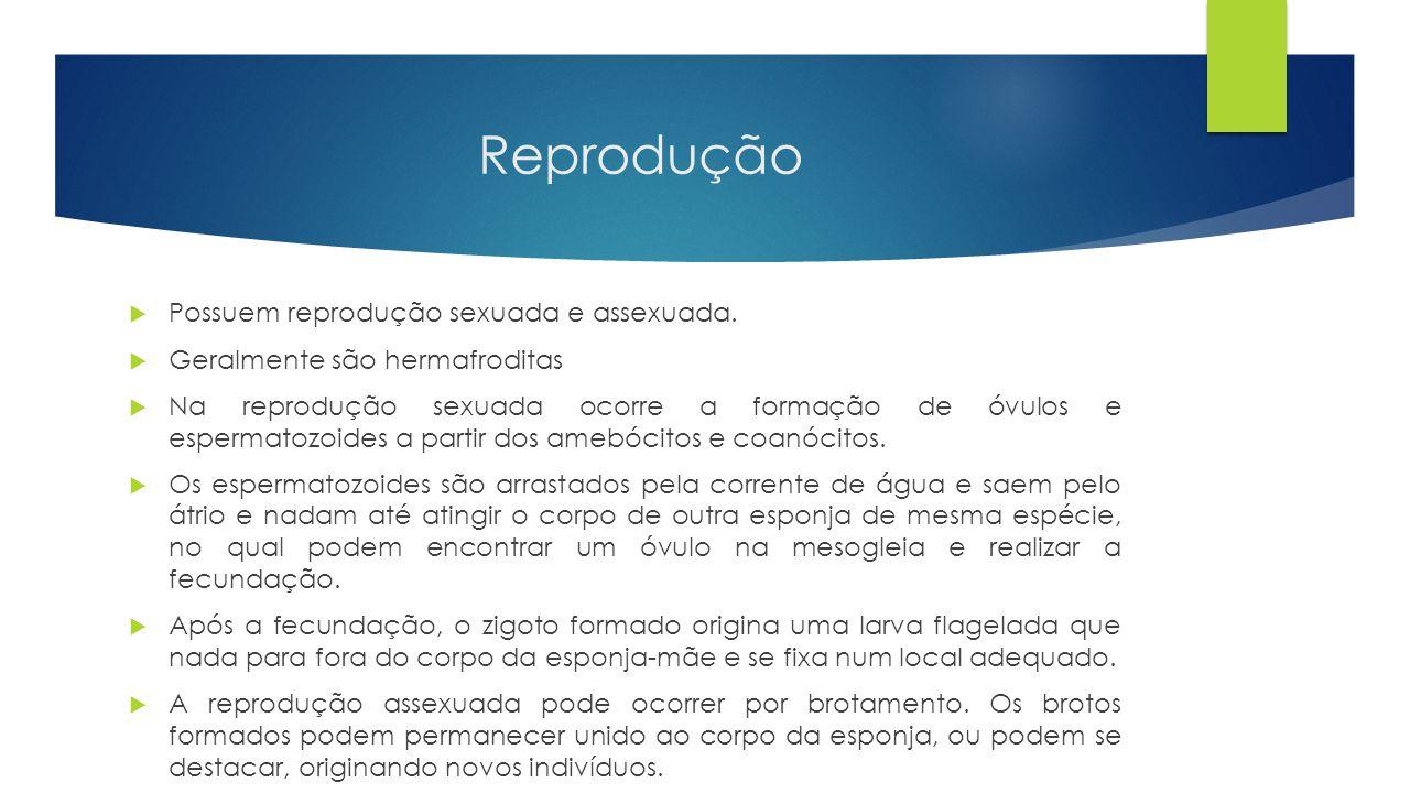 Reprodução  Possuem reprodução sexuada e assexuada.  Geralmente são hermafroditas  Na reprodução sexuada ocorre a formação de óvulos e espermatozoi