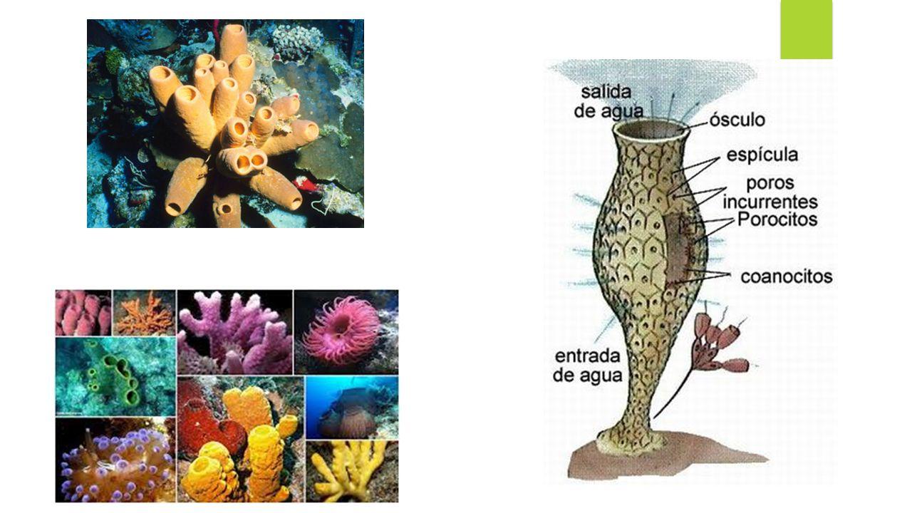 7- Como ocorre a reprodução dos poríferos.A reprodução assexuada pode ocorrer por brotamento.