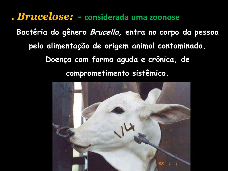 . Brucelose: - considerada uma zoonose Bactéria do gênero Brucella, entra no corpo da pessoa pela alimentação de origem animal contaminada. Doença com