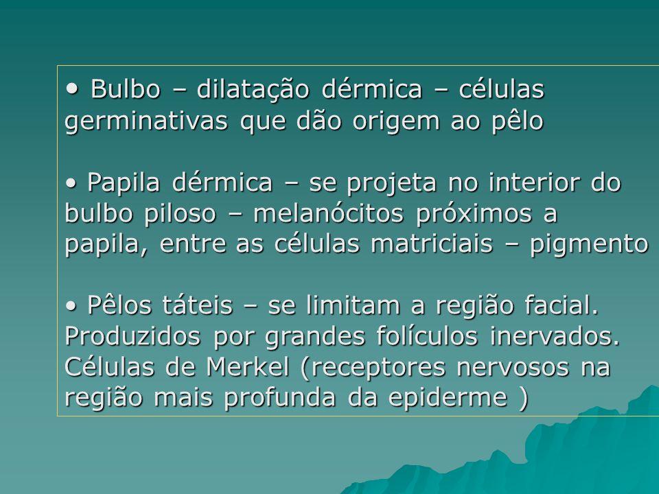 Bulbo – dilatação dérmica – células germinativas que dão origem ao pêlo Bulbo – dilatação dérmica – células germinativas que dão origem ao pêlo Papila