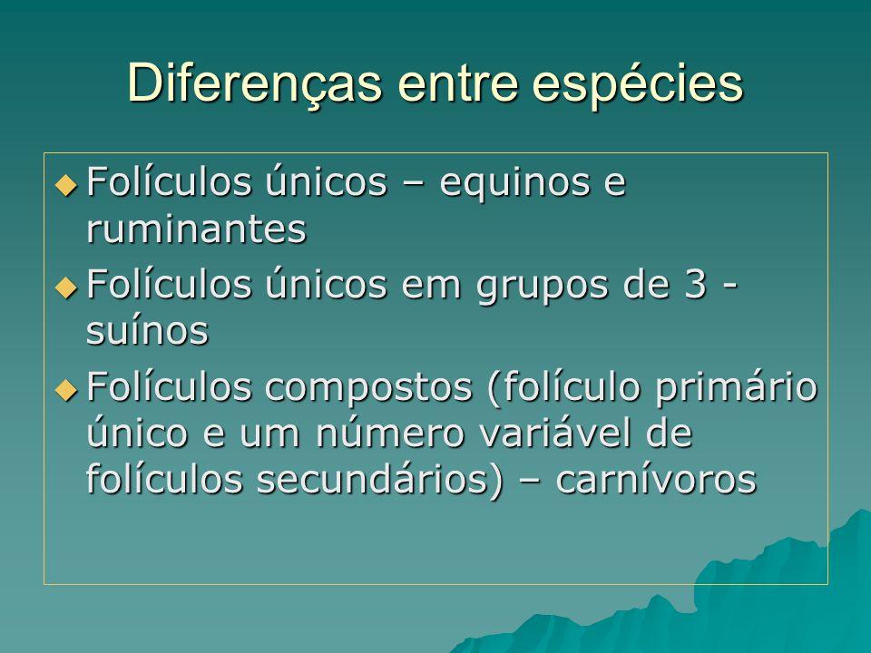 Diferenças entre espécies  Folículos únicos – equinos e ruminantes  Folículos únicos em grupos de 3 - suínos  Folículos compostos (folículo primári