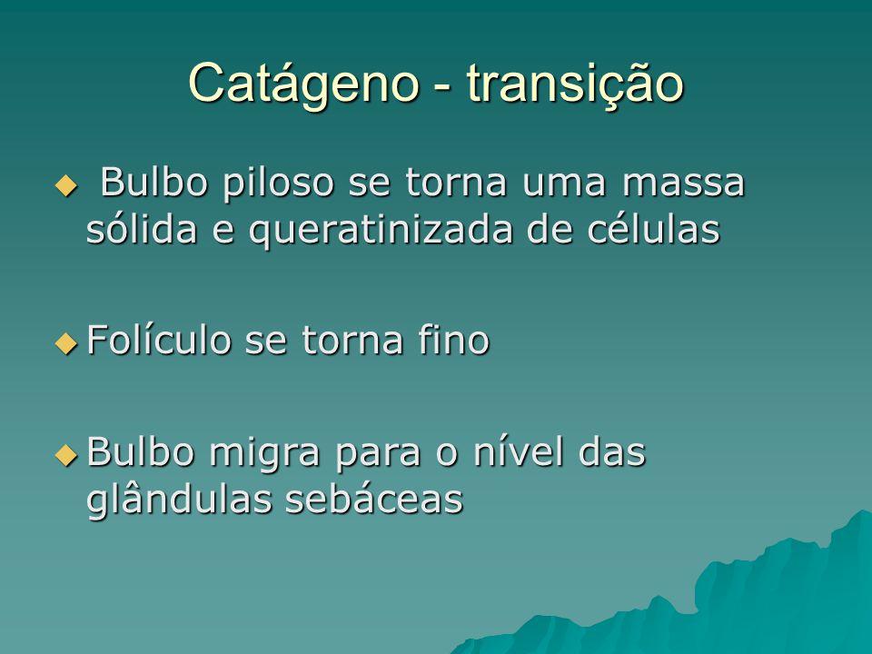 Catágeno - transição  Bulbo piloso se torna uma massa sólida e queratinizada de células  Folículo se torna fino  Bulbo migra para o nível das glând